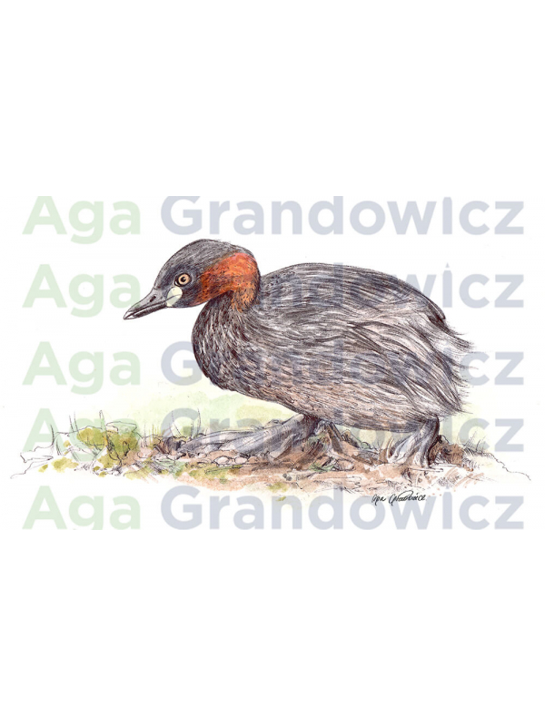 Little grebe duck – original artwork by Aga Grandowicz – close-up.
