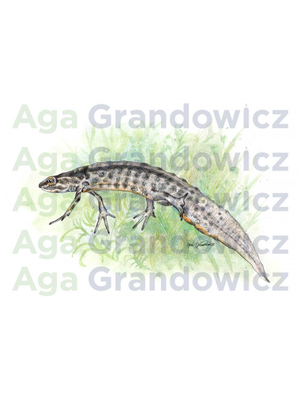 Newt – original artwork by Aga Grandowicz – close-up.