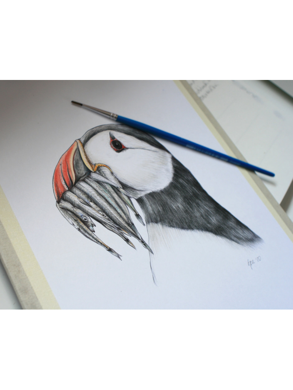Atlantic puffin, original wildlife illustration by Aga Grandowicz.