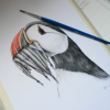 Atlantic puffin, wildlife illustration by Aga Grandowicz.