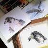 Peregrine falcons – original artwork by Aga Grandowicz
