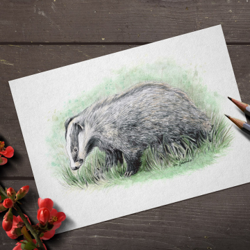 European Badger – original artwork by Aga Grandowicz