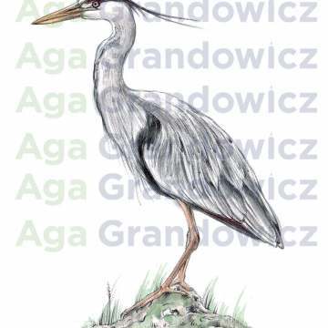 Great blue heron #1 – original artwork by Aga Grandowicz – close-up.