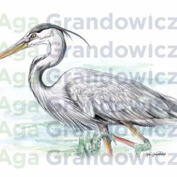 Great blue heron #2 – original artwork by Aga Grandowicz – close-up.