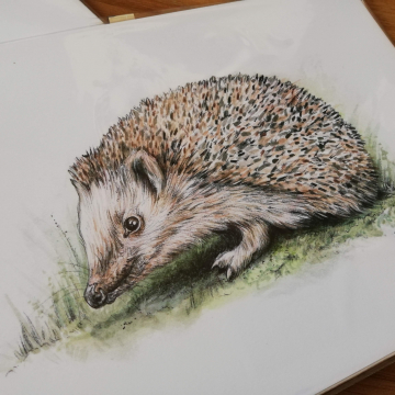 Hedgehog, A4 fine art prints by Aga Grandowicz.