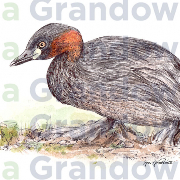 Little grebe duck – original artwork by Aga Grandowicz –close-up.