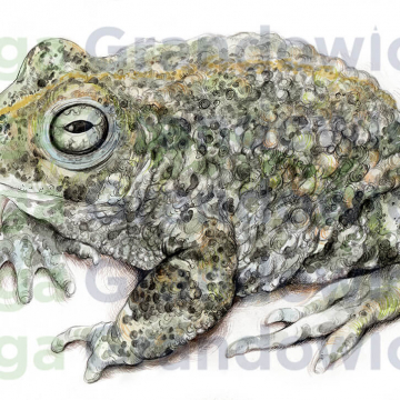 Natterjack toad – original artwork by Aga Grandowicz – close-up