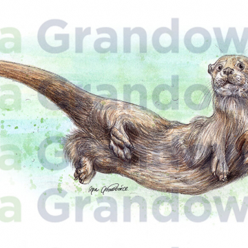 Eurasian otter – original artwork by Aga Grandowicz – close-up.