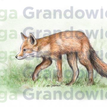 Red fox – original artwork by Aga Grandowicz –close-up.