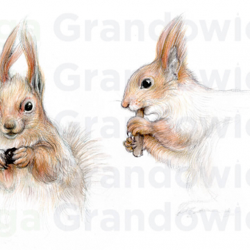 Two red squirrels – original artwork by Aga Grandowicz – close-up