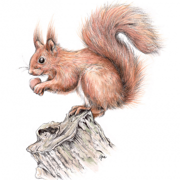 Squirrel, A4 fine art prints by Aga Grandowicz