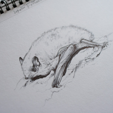 Soprano Pipistrelle bat – drawing by Aga Grandowicz
