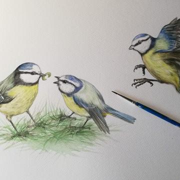 Illustration of feeding blue tits  – from Blue tit chick – children's book by Bernardine Mulryan and Aga Grandowicz