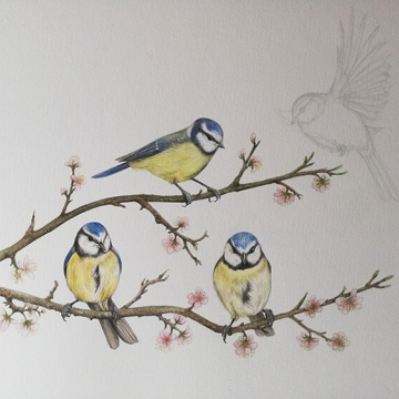Illustration of blue tits on a branch – from Blue tit chick – children's book by Bernardine Mulryan and Aga Grandowicz